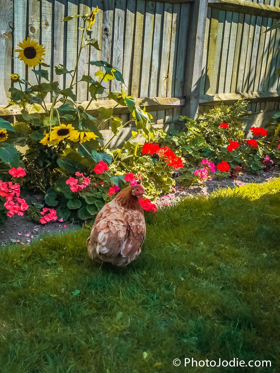 chicken in the garden walnut tree