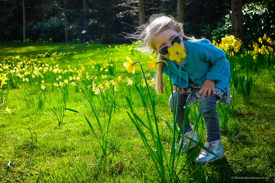 Maidenhead Mum: Reasons to #LoveMaidenhead: daffodils at Cliveden