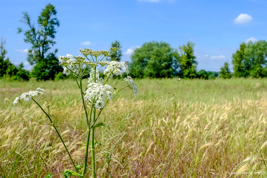 Wild carrot flowers in Maidenhead The Green Way