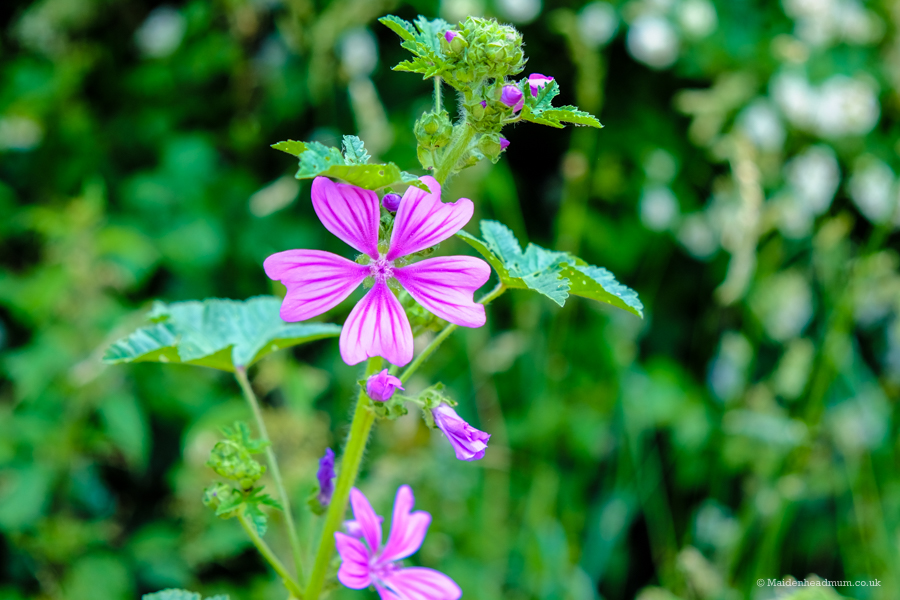 Common Mallow flowers along The Green Way in Maidenhead.