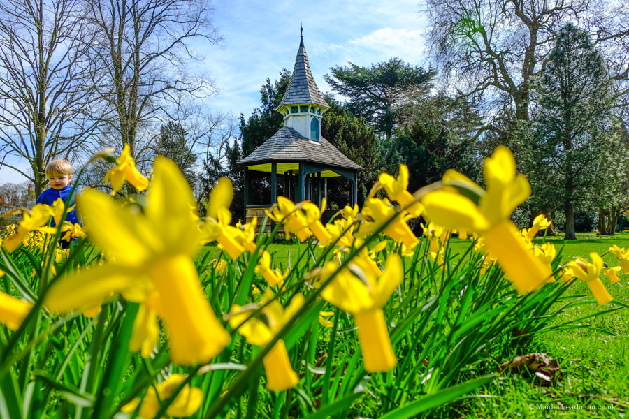 Daffodils in Guards Club Park in Maidenhead