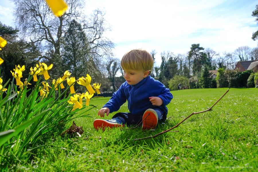 daffodils in Guards club park Maidenhead