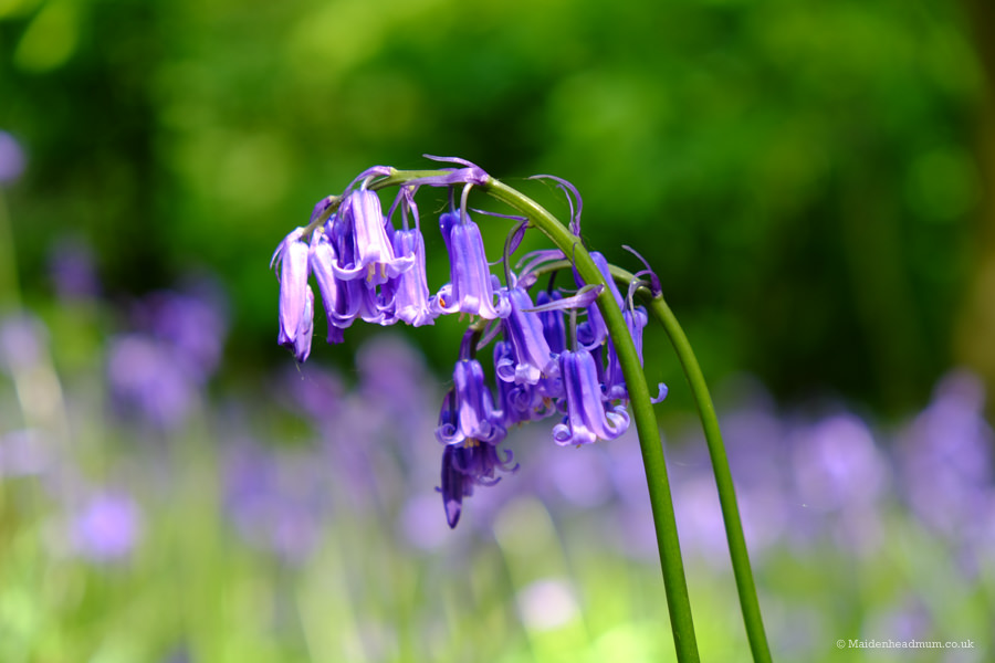 bluebells in Maidenhead