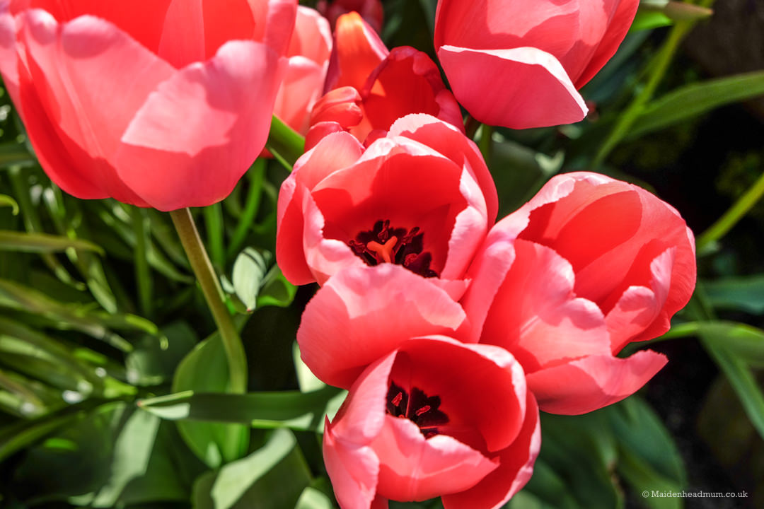 Pink tulips at Arundel Castle