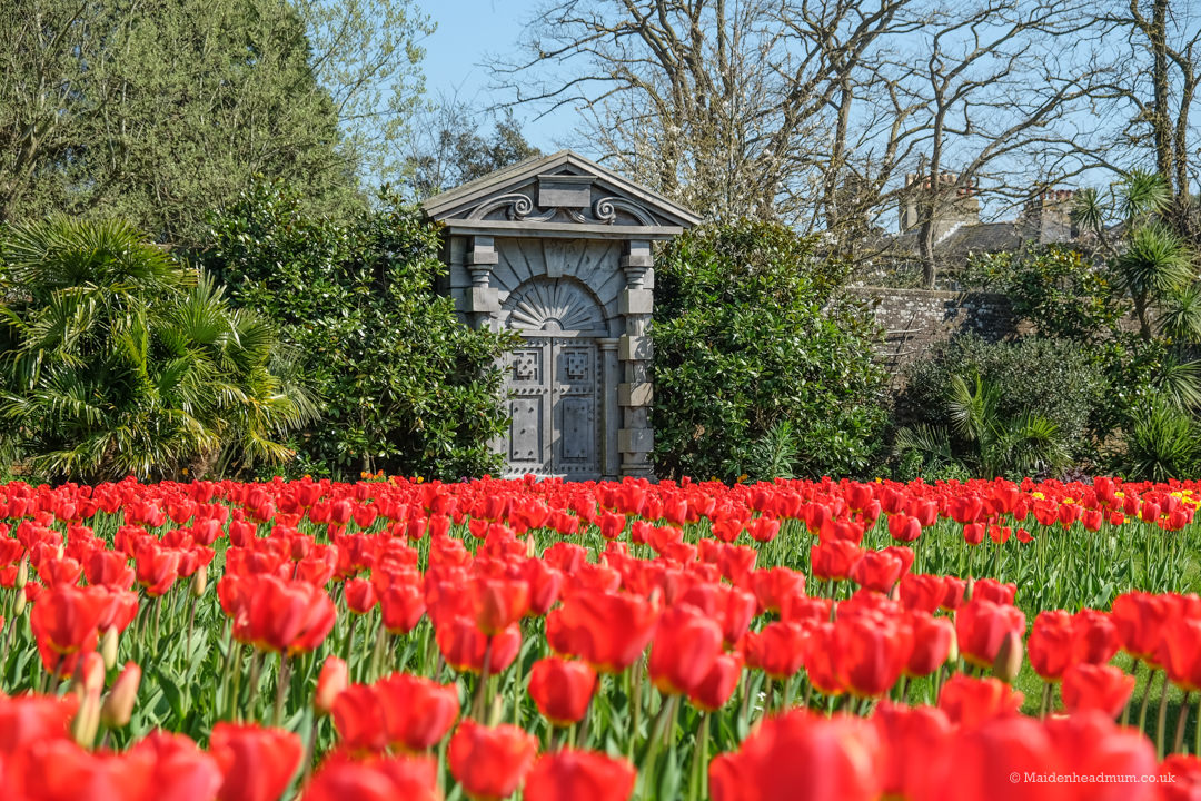 Red tulips on display at Arundel castle